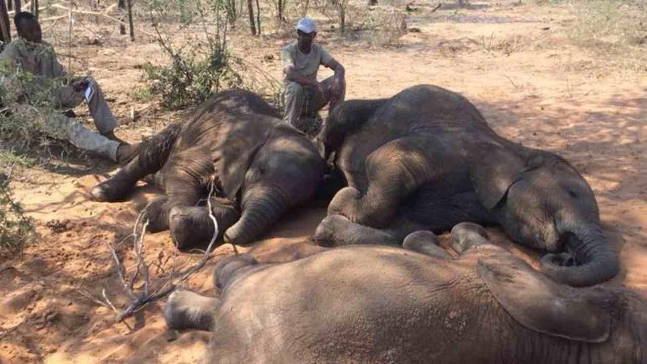 MUEREN ENVENENADOS 12 ELEFANTES EN PARQUE DE ÁFRICA