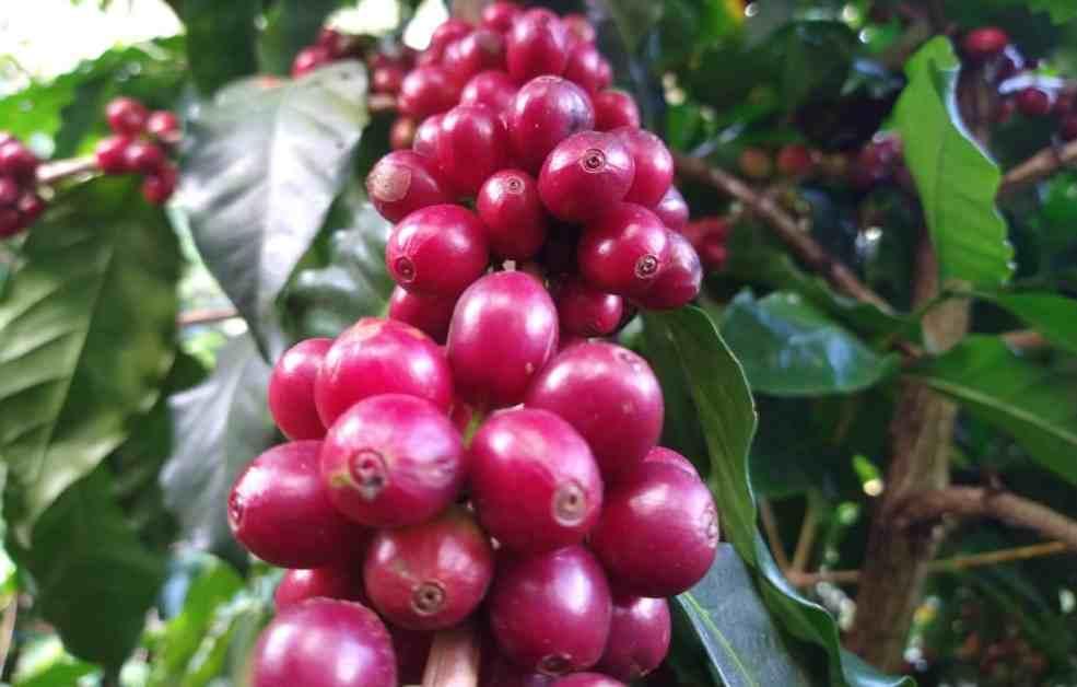 ESPERAN CAFETALEROS PRECIOS DE HASTA 10 POR KILO DE CEREZA
